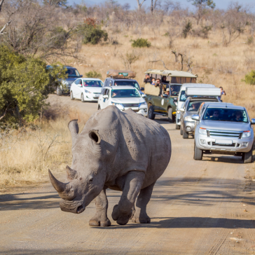 Kruger-national-park-white-rhino